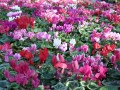 Cyclamen de Perce...Cyclamen persicum