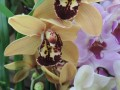 Cymbidium sp