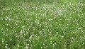 Eriophorum gracile ? 1/3