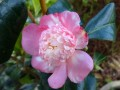 Camellia Baby Sis pink