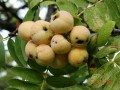fruits du sorbus domestica