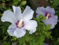 Hibiscus syriacus (syn. Althea)