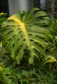Large feuille