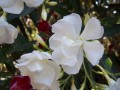 laurier rose blanc