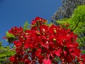 le poinciana royal delonix regia