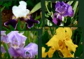 Les Iris Germanica...