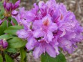 Les Rhododendrons....