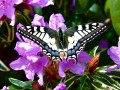 Machaon...Le Grand porte-queue...Papilio machaon