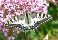 Machaon...Papilio machaon
