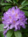 Magnifiques rhododendrons !