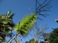 Melaleuca fflavovirens lave bouteille vert