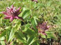 Monarda 'Beauty of  Cobham'  ?