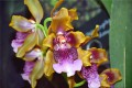 Oncidium harryanum