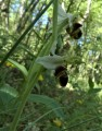 Ophrys abeille 1 - Ophrys apifera