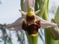 ophrys fuciflora  ?? 14/04/2013