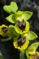 Ophrys sicula.