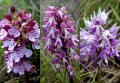 Orchis hybrides