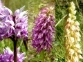 Orchis samia X Orchis anthopophora