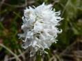Orchis simia hypochrome