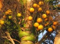 Palmier à canne d'or (Dypsis lutescens) -Fruits mûrs-