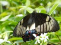 "Papilio aegeus, ""Orchard swallowtail"" ou ""large citrus butterfly"