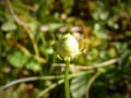 Parnassia palustris-fruit