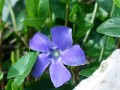 Pervenche...Vinca major