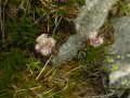 Pied de chat (Antennaria dioica)