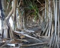 Photo (1/3) Pandanus utilis Bory