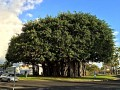 (Photo1/3) Ficus Benghalensis