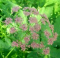Pimpinella major var. rubra