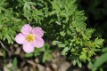 Potentilla fruticosa lovely pink