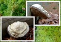 Polypore Amadouvier?