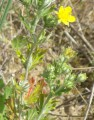 Potentilla inclinata