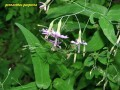 prenanthes purpurea