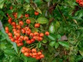 Pyracantha coccinea...ou buisson ardent