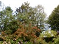Pyracantha ou Buisson Ardent