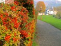 Pyracantha...ou Buisson ardent