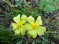 Helianthemum sp