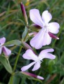 Saponaria officinalis  2/3