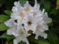 Rhododendron blanc (3)