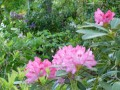 Rhododendron rose (2)