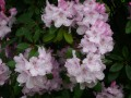 Rhododendron (suite)
