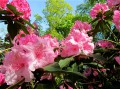 Rhododendrons...2