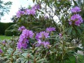 Rhododendrons suite....