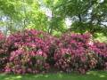 Rhododendrons...