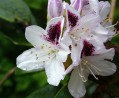Rhododendrons....