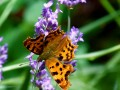 Robert le diable...Polygonia C.album