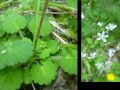 Saxifrage a feuilles rondes ?