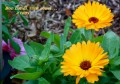 Souci officinal...Calendula officinalis